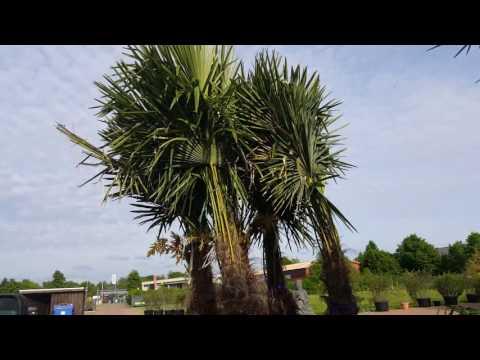 Winterharte Palmen kaufen winterharte Palmen für Garten und Balkon