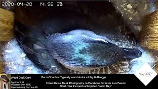 Wood Duck Cam Live Stream