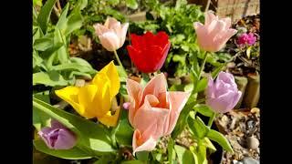 Magical Plants: Tulip