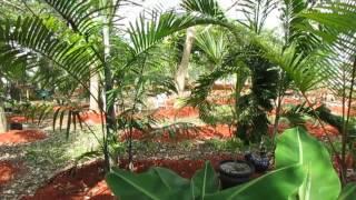 Dypsis pembana and Dypsis lanceolata - Two Beautiful Madagascar clumping palms.