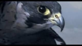Peregrine Falcon - Sky Dive