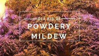 Get rid of powdery mildew fast