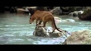Bị sư tử săn đuổi đến không còn hy vọng, gấu con vẫn kiên trì và điều kỳ diệu đã xảy