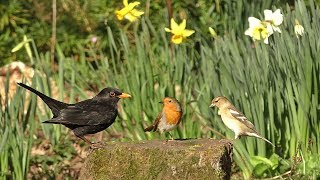 Relaxing Cat TV - Woodland Birds and Daffodils