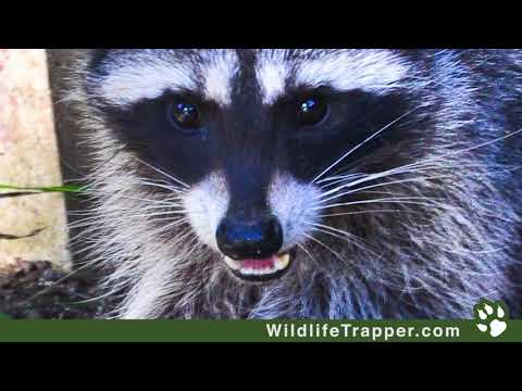 Sarasota Fl Raccoon Trapping And Removal Wildlife Trapper