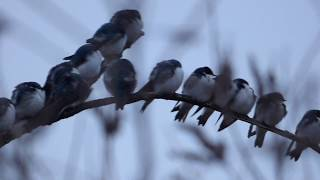 Tree Swallow lineup