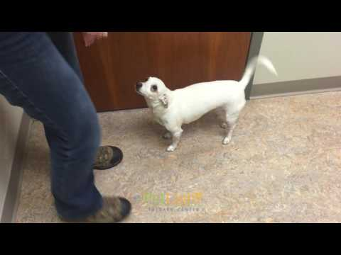 dog that had paralyzed rear legs is walking again