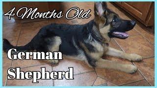 4 Months Old German Shepherd Quick Training