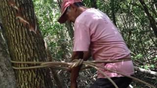 Chiclero en la selva de Quintana Roo