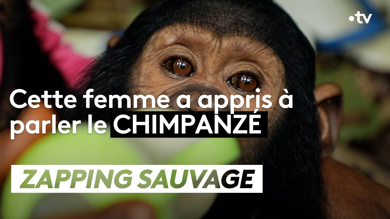 Elle a appris à parler le chimpanzé - ZAPPING SAUVAGE