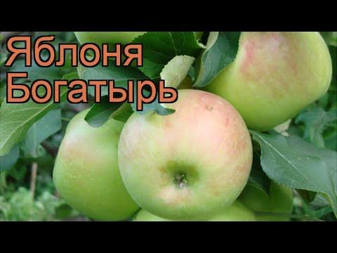 Яблоня обыкновенная Богатырь (malus bogatyr) 🌿 Богатырь обзор: как сажать, саженцы яблони Богатырь