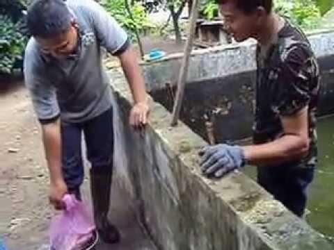 Video Panen ikan gurami ... memanfaatkan  kolam kecil tapi hasil besar