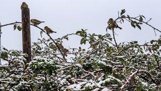 Абрикос в снегу – Крым без урожая? | Радио Крым.Реалии