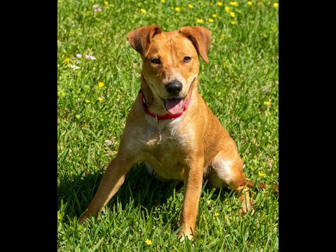 Birdie, an adopted Feist Mix in Seattle, WA_image-1