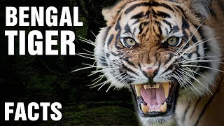 10 + Surprising Facts About The Bengal Tiger
