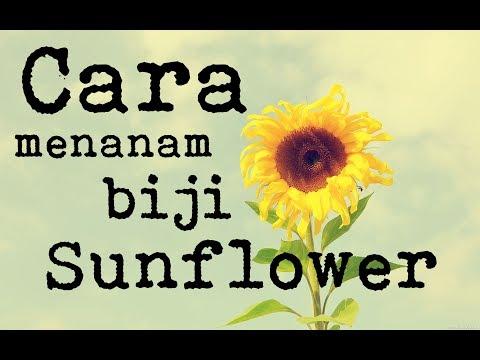 Video Cara Menanam Bunga Matahari / Sunflower