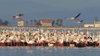Gediz Deltası Flamingo üreme adası 2010