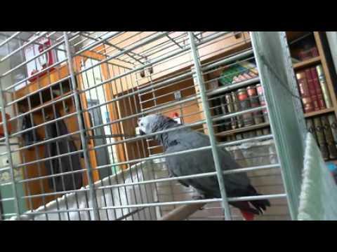 Çok net konuşan papağan