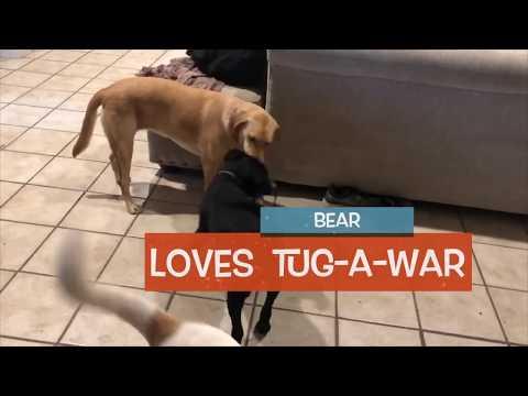 Bear, an adoptable Labrador Retriever & Pit Bull Terrier Mix in Dallas, TX