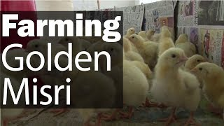 Golden Misri Hatchery In Karachi