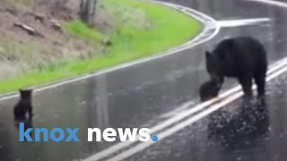 Cute Video Alert! Mama Bear Encourages Cubs To Cross Road