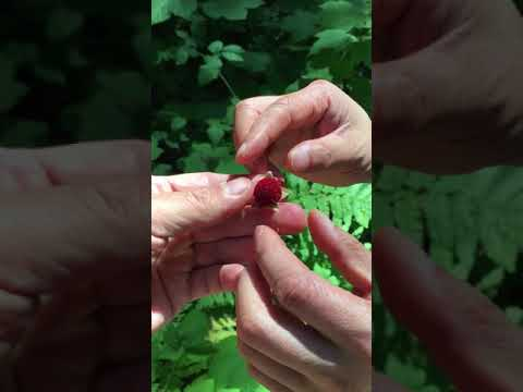 , title : 'The Thimbleberry. A while delicious berry that grows not only in full shade but acidic soil.