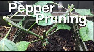 EZ Pepper Pruning for Great Results and Huge Yields