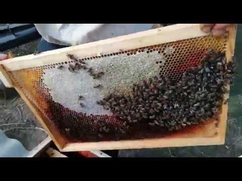 Пчеловодство, 10 02 19 февральский осмотр слабых семей,расплод