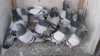 Бакинские бойные голуби: описание породы и особенности разведения