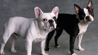 French Bulldog vs. Boston Terrier - DOG LOVERS ❤