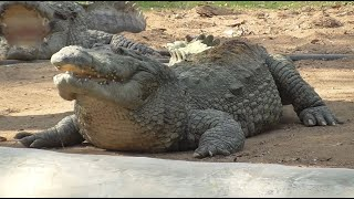 Biggest Crocodiles In The World