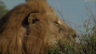 Safari Live : Birmingham Boy Tinyo and unknown Lioness on drive May 25, 2017