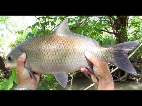 Виды карповых рыб. Буффало большеротый, буффало малоротый и буффало черный. Краткое описание вида