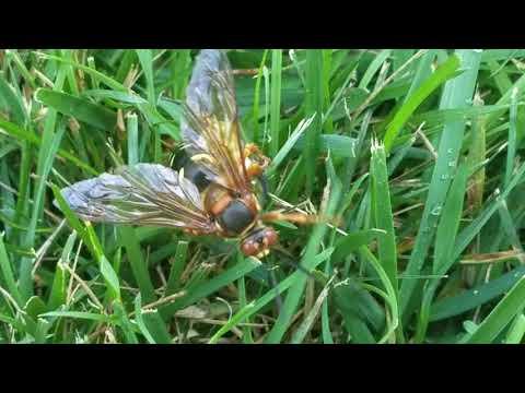 Cowleys Pest Services Pests We Treat Cicada Killer