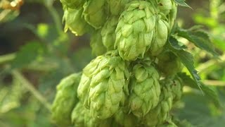How To Choose Hops | Beer Brewing