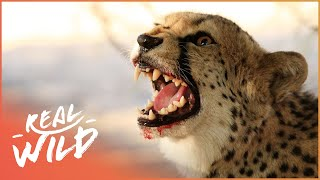 Tommy And His Mother Run Away From Cheetah! | Fawn Identity | Wild Things Shorts