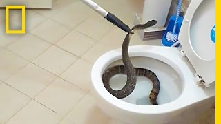 This Snake in a Toilet is a Bathroom Nightmare Come True | National Geographic