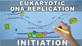 DNA Replication In Eukaryotes | Initiation