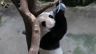 20200920 圓仔吃光罐內果果 The Giant Panda Yuan Zai