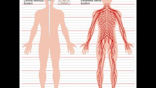 Central Nervous System vs. Peripheral Nervous System