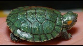 Рацион правильного питания красноухих черепах! Подробное меню!/Diet proper nutrition red turtles!