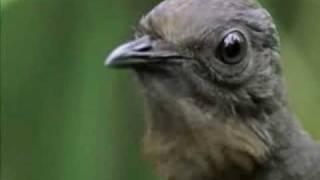 Птица Диктофон - Прикольное Видео.