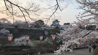 日本一周女ひとり旅261日目。兼六園で桜Live