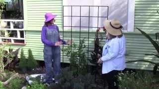 How to Espalier Citrus Trees