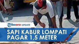 Viral Video Sapi Kurban di Sukabumi Kabur Lompat Pagar 1,5 Meter, Seruduk Warga dan Ditembak Polisi