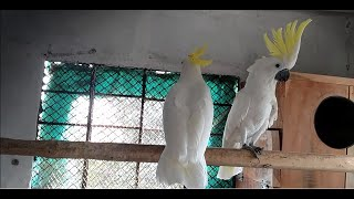 Visited Shazad Exotic Birds Setup | Moluccan Cockatoo | Amazon Breeding Setup