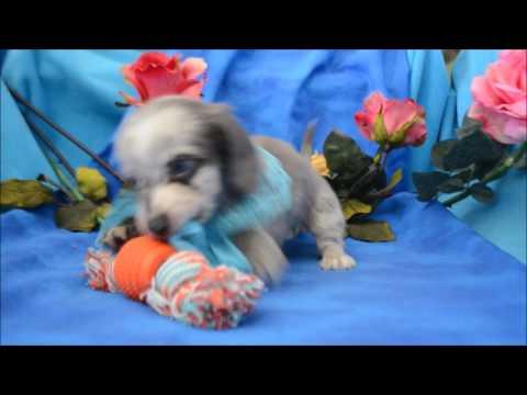 Prince AKC Blue Eyed Blue Dapple Male LH Miniature Dachshund Puppy for sale