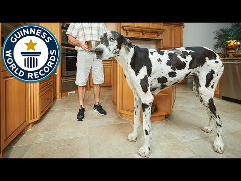 Tallest Female Dog - Meet The Record-breakers