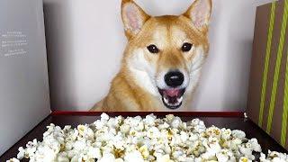 Shiba loves popcorn