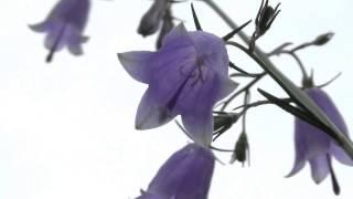 30秒の心象風景4148・下向の花~ツリガネニンジン~